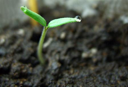 Seedling_tomato_08